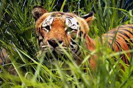 tiger hiding in the weeds