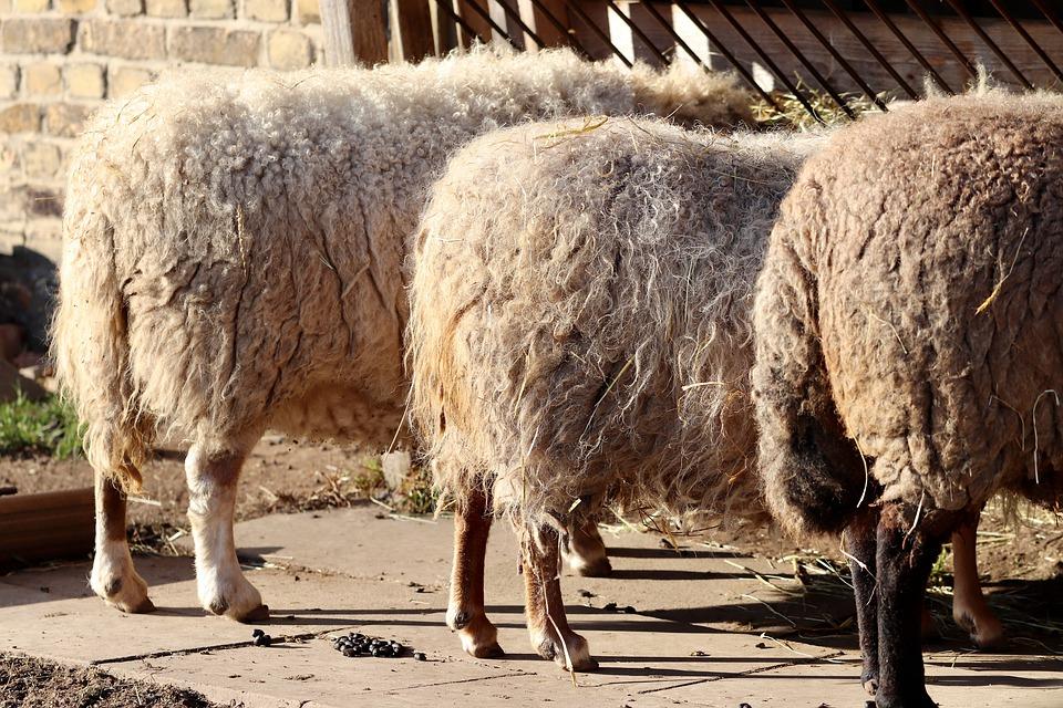 dirty mangy sheep